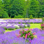 The Lavender Connection: News from Fragrant Isle