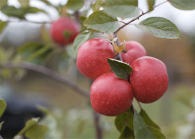 brewery-island-orchard