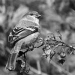Christmas Bird Count on Washington Island, Dec. 14
